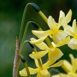 Daffodil Bulbs - Hawera