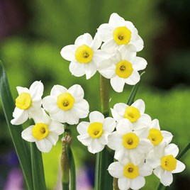 Daffodil Bulbs - Minnow