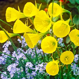 Daffodil Bulbs - Hoop Petticoat(20)