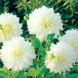 Dahlia Decorative Fleurel 2