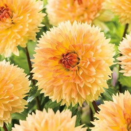 Dahlia Decorative Orange Sakura (2)