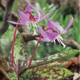 Erythronium Bare Root - Purple King