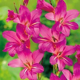 Gladiolus communis subsp byzantinus