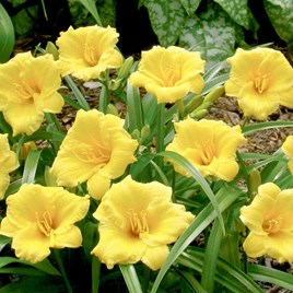Hemerocallis Mini Stella (3)
