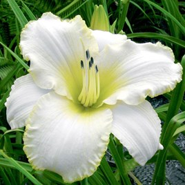 Hemerocallis Blizzard Bay (3)