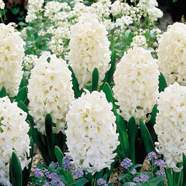 Hyacinth Bulbs - Carnegie