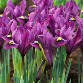 Iris reticulata - Purple Hill