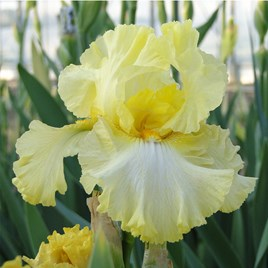 Iris Germanica Summer Olympics