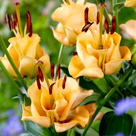 Lily Apricot Fudge