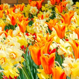 Tulip & Narcissus Bulbs - Fireworks Mix