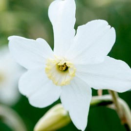 Narcissus Polar Ice