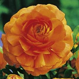 Ranunculus  Orange 10