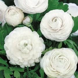 Ranunculus  White 10