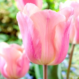 Tulip Bulbs - Apricot Beauty