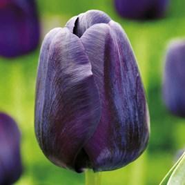 Tulip Bulbs - Paul Scherer