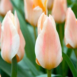 Tulip Bulbs - Fur Elise