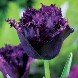 Tulip Bulbs - Cuban Night