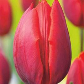 Tulip Bulbs - Colour Cardinal