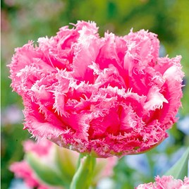 Tulip Bulbs - Crispion Love