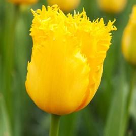 Tulip Fringed Hamilton (10)