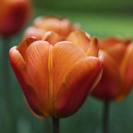 Tulip Single Triumph Late - Brown Sugar(10)