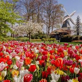 Tulip Bulbs - Delightfully Dutch Tulip Mix