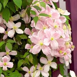 Clematis montana Plant - Rubens
