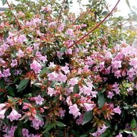 Abelia Plant - Edward Goucher