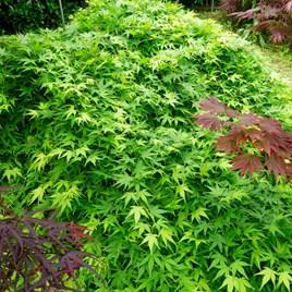Acer palmatum Standard Plant - Ryusen®