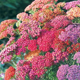 P & P - Achillea Summer Berries