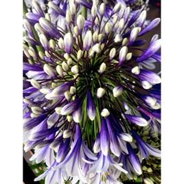 Agapanthus Plant - Fireworks
