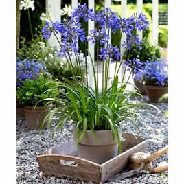 Agapanthus Plant - Ever Sapphire