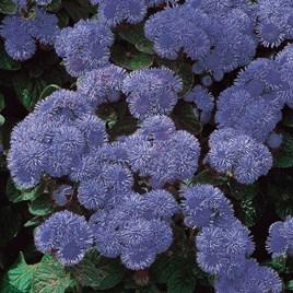 Ageratum Seeds - Blue Mink