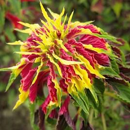 Callaloo (Amaranthus Tricolour)