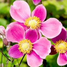 Anemone Plant - Splendens