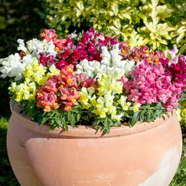 Antirrhinum - F1 Crackle & Pop Mix