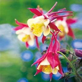 Aquilegia Plants - Crimson Star