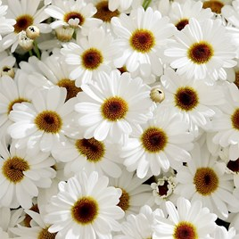 Argyranthemum Plant - White