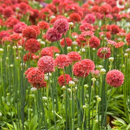 Armeria Seeds - Ballerina Red