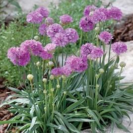 Armeria Plant - Ballerina Purple Rose