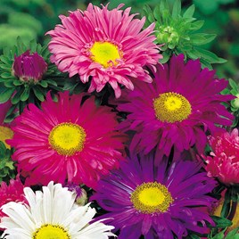 Aster Seeds - Lazy Daisy Mix