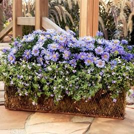 Aster Plant - Autumn  Jewels Aqua Compact