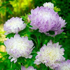 Aster Plants - Blue Ice