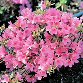 Rhododendron (AJ) Plant - Madame van Hecke