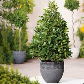 Pyramid Bay Tree Plant