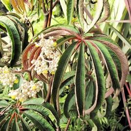 Begonia Plant - Luxurians
