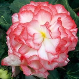 Begonia Nonstop Rose Petticoat (3)