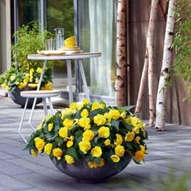 Begonia Nonstop Joy Yellow (15)