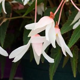 Begonia Bossa Nova Pure White (15)