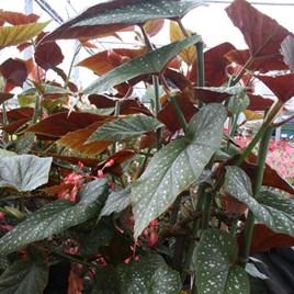 Begonia Plant - Lucerna